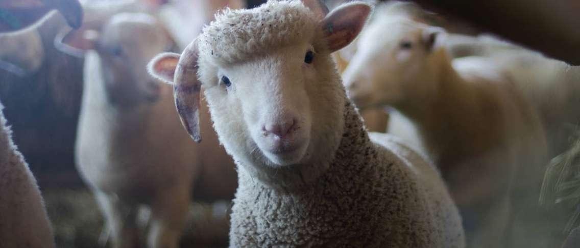 Tafsir al-An'am 146 Apa yang Dimaksud Haram Lemak Sapi dan Domba